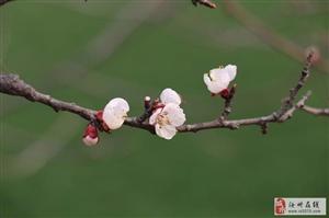 汝州的杏花节