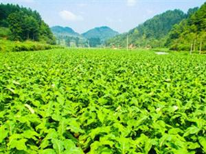 澳门网上投注游戏烟叶标准化生产福泽烟农