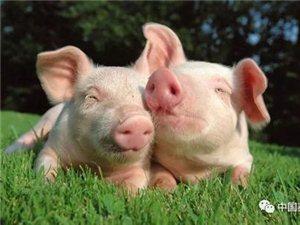郑州发生一起生猪非洲猪瘟疫情 目前疫情已得到有效控制