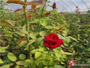 我的玫瑰我的爱【旬阳县太极城文化研究会】