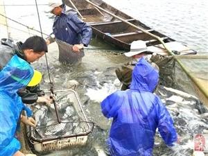 """东湖水产农场""""开渔""""平市"""