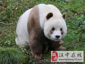 世界唯一棕色大熊猫9岁七仔  和18岁珠珠成功配对