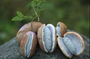 八月瓜,九月炸!丰都这个好吃的野果子又吃得啦!
