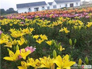 遂平温泉小镇七彩百合园将在本月20号前后对外开放