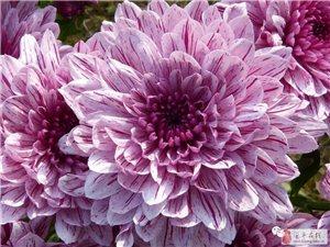 驻马店汝南南海禅寺将举办豫南规模最大的菊花展