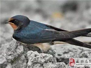 从古至今为何没人吃燕子?它上不了餐桌的真相到底是什么?