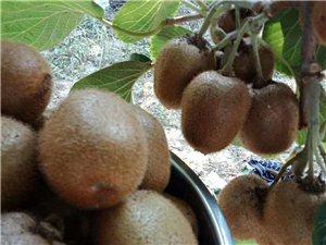 猕猴桃果实变扁变小的原因!有哪些解决措施
