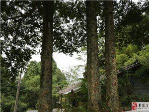 国家一级珍稀保护植物——金丝楠木树
