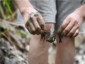 潢川这个地方的稻田小龙虾泛滥满地乱钻,客人来了随便吃!
