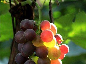 葡萄之乡的葡萄熟了