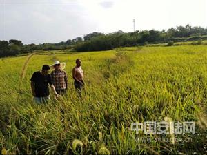 扶贫日记一则:成熟的稻谷是百姓心中最美的期望
