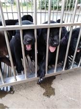出售拉布拉多幼犬,犬龄2个月,照顾的很好,品相很好!联系电话冯师
