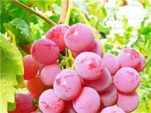 合阳县庆祝首届农民丰收节暨第三届红提葡萄节将于9月21日隆重开幕