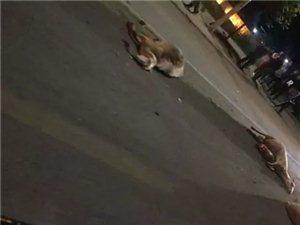 突发!关屯桥附近:一辆轿车撞了一群羊