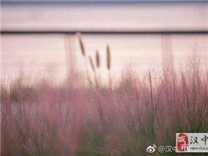 又要到赏粉色花海的季节了