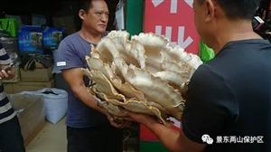 景东县安定村民捡得一朵重60斤的野生菌