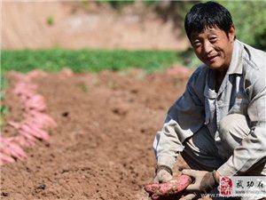 【武功古城】   挖红薯――党小成
