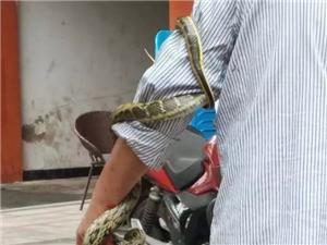 吓死人了,宜宾男子当街杀蛇,慎入!