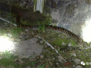 坪上坑头电站围墙边发现一条大蟒蛇,足足三十斤!