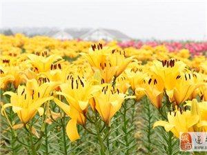 �酷�山温泉小镇首届七彩百合文化节即将开幕
