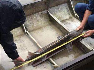 宜宾渔民捕到一条怪鱼,竟然是一级保护动物!