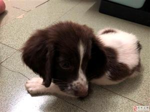 出售纯种的史宾格,拉不拉多,东德犬