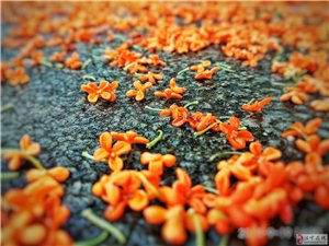 中秋节前后,正是桂花季节。
