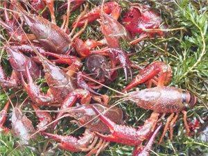 郑州1/4的小龙虾都来自潢川,全县2740户贫困户全靠它脱贫赚大钱!