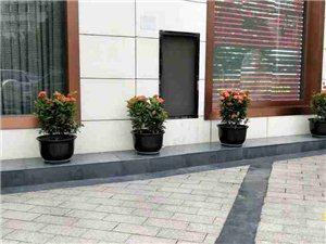 请你欣赏-和天下酒楼门前的好看的花花们,华亮园艺实景拍摄