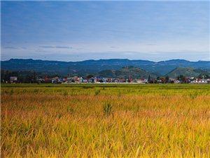 秋收季节,田野里一片金黄,景色如画~庆祝中国第一个农民丰收节!