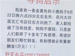 寻狗启示:在巴彦县兴大附近走失金黄色小鹿狗,有重谢!
