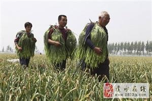 建水的蒜苔又是一年丰收年