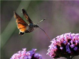 《蜂鸟蛾》觅食的风采