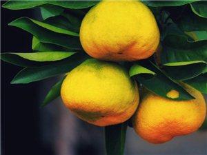 威尼斯人网上娱乐平台十月,金桔飘香,去褒河古镇桔园赏橘