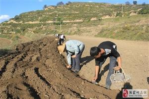 峡口村500亩芍药开种了