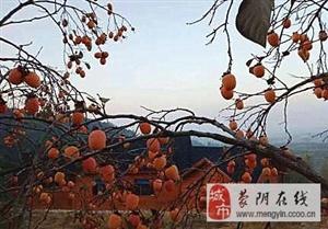 三教堂山上的�r令柿子