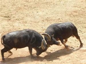 两头水牛因打斗闯入银滩高铁站