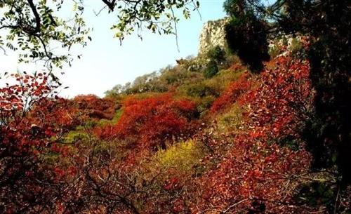 约起来!青州这些地方的红叶一片片的红了,真壮观!(附地图)