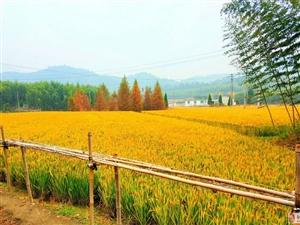 农业生产重大突破:海水稻研发成功!