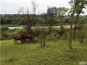 东湖公园 四中路段有人放牛 跑来跑去,吓瘦卵。