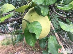 挖红苕,摘柚子,品乡村猜|最美乡村盐亭行!