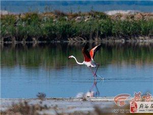 榆林市发现罕见火烈鸟 系国家一级保护动物