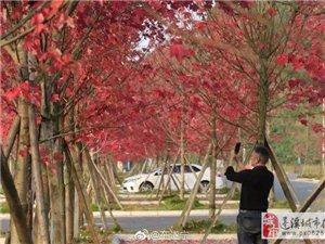 没想到蓬溪美到哭的枫叶原来藏在这里!