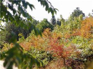 丰都十直的枫叶正开,热情似火!好吃的果子也熟了