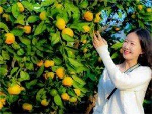 褒姒故里花果山柑橘飘香比蜜甜