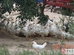 榆林大学生放弃城里工作回村养鸡