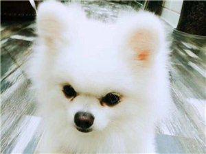 网友求助:柠都新城走丢一只白色博美,请大家帮忙留意一下!