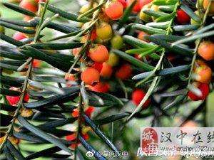 宁强千山茶园红豆红