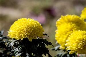 秋天到天水来赏菊