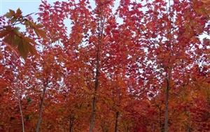 栾川最红的红叶,竟在潭头这个地方!